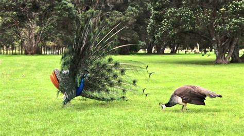 peacock mating dance display youtube