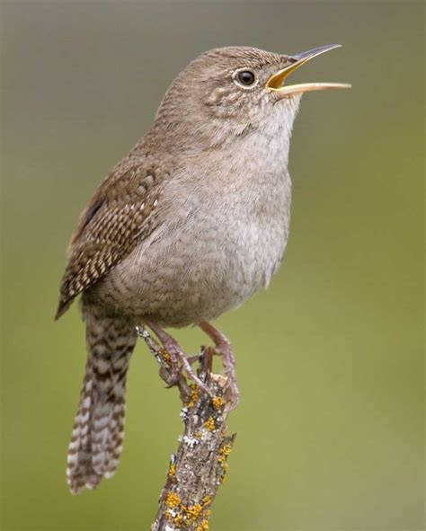 house wren bird house wren audubon field guide