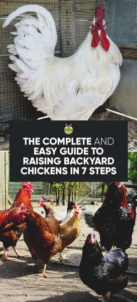 Guide To Raising Backyard Chickens The Complete 7 Step Guide To Raising Chickens In Your Backyard Homesteading Alliance