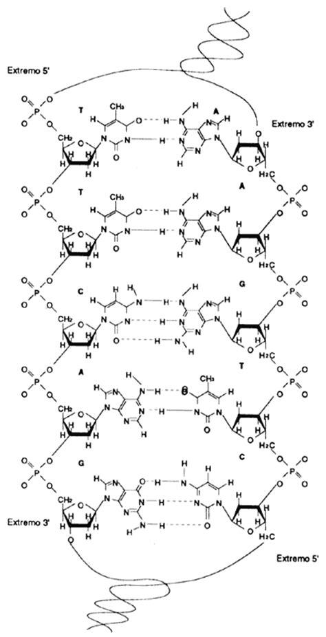 cadena de adn de 15 nucleotidos iii mirando dentro del gene