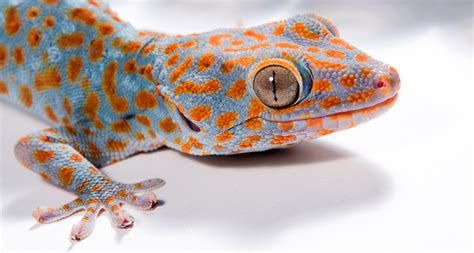 0007179898 the gecko s foot how scientists gecko adhesion takes electric turn science news