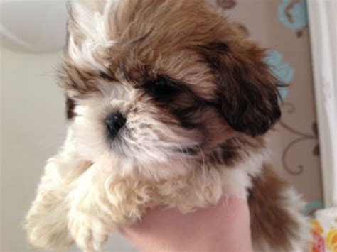 shih tzu puppies for sale scotia akc top smartest breeds 2013 photo breeds picture