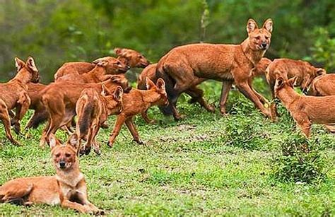 dhole puppy dhole asian animal pictures and facts factzoo