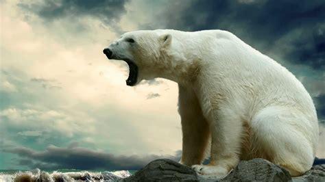 Bears White white free
