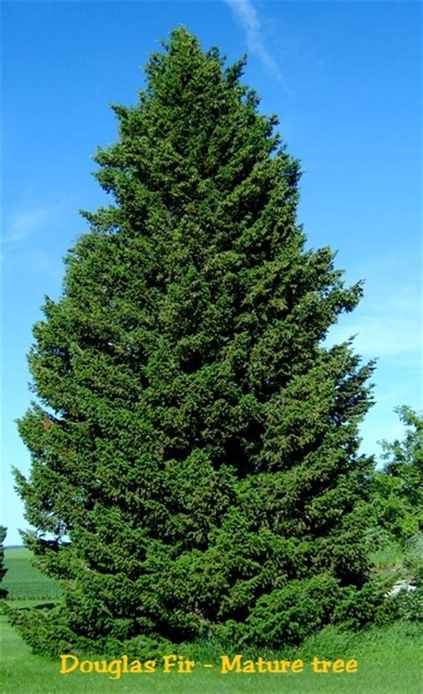 douglas fir christmas tree care douglas fir pseudotsuga menziesii