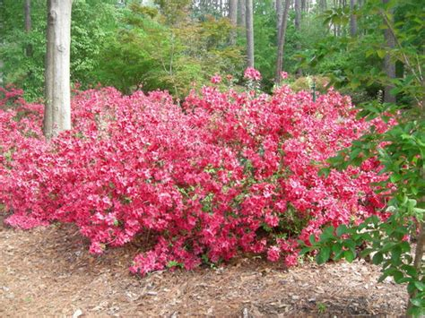 Ruby Garden by Touch Picture Of Ruby M Mize Azalea Garden