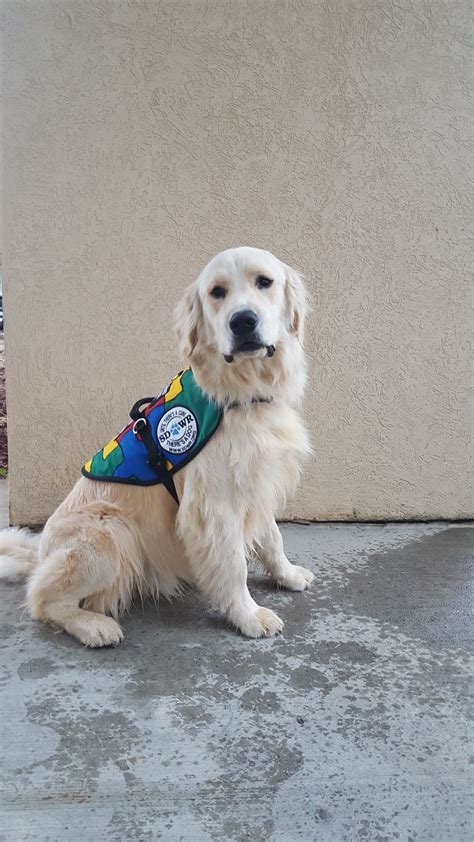 how to an autism service service dogs by warren retrievers delivers autism service to child in coventry ct