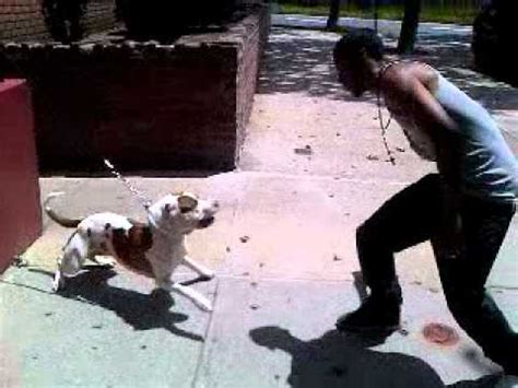 how to your to be more aggressive aggressive pitbull