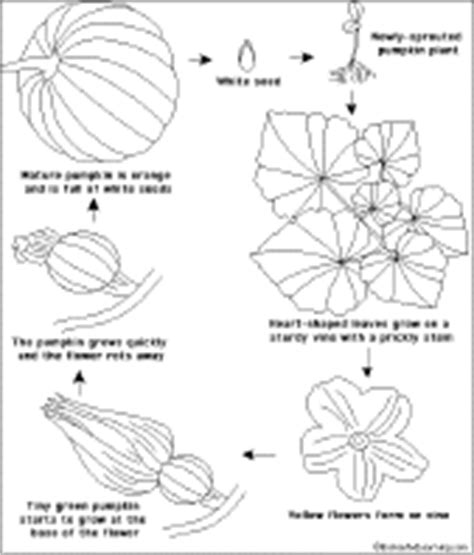 life cycle of a pumpkin coloring page pumpkin life cycle coloring coloring pages