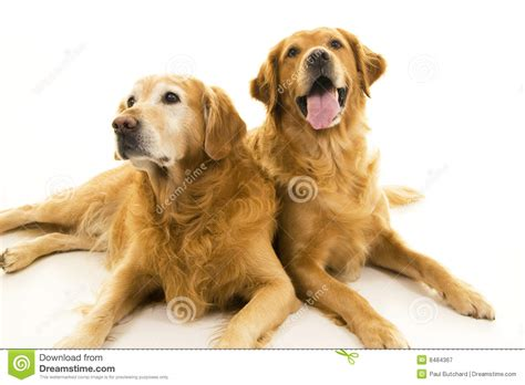 Small Business Floor Plans Two Golden Retriever Dogs Royalty Free Stock Photography