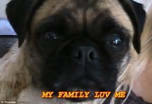 loca the pug pug pictures with captions breeds picture