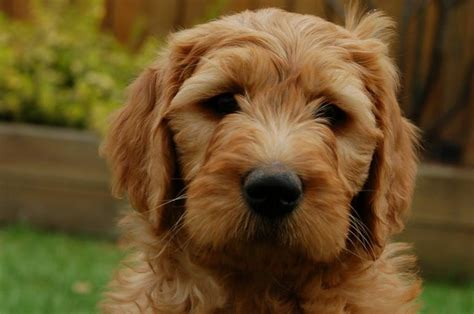 goldendoodle puppy alberta 17 best ideas about goldendoodle on golden