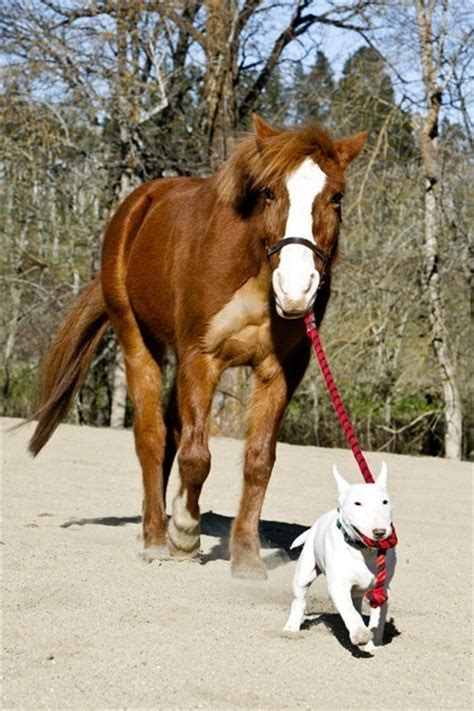 puppies and horses and alpha bull terrier leader