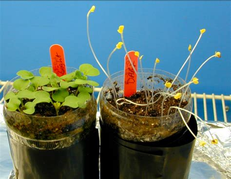 growing in the dark plants and light science project education com wisconsin fast plants activity and resource portal