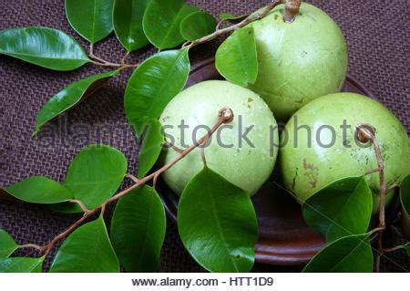 apple vietnam vietnam fruit milk fruit or star apple or vu sua is