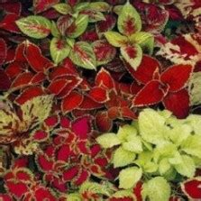 Benih Bibit Labu Madu F1 benih microgreens bunga matahari sunflower 25 biji non
