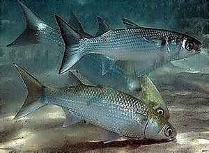 mancing ikan belanak  botol plastik tips ikan