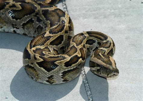 Interior Department Twitter Ban by Government May Ban Giant Snake Imports Wired
