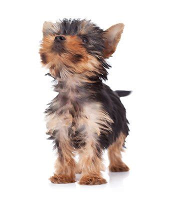teacup yorkie information teacup yorkie breed information