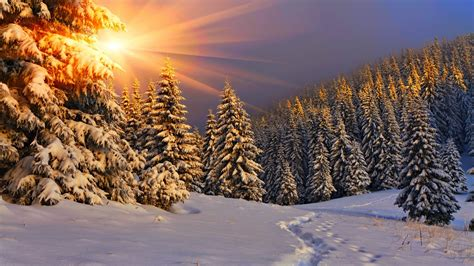 nature sun sunlight winter snow trees pine trees