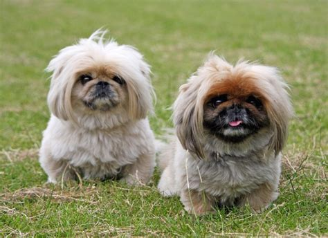 best breeds for small homes best 50 small breeds for apartments platpets