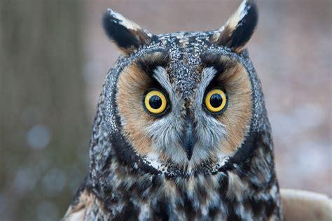 owls live taking flight