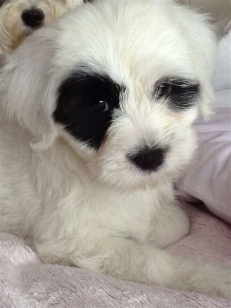 puppies for sale minnesota tibetan terrier puppies for sale tibetan terrier for sale minnesota breeds picture