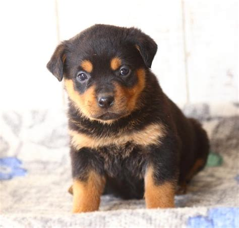 puppies for sale in pa rottweiler puppy craigslist dogs in our photo