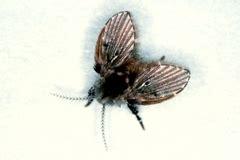 gnats in bathtub drain flies fungus gnats nebraska extension community environment university of