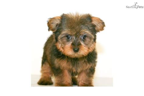 fluffy yorkie puppy meet teddy a terrier yorkie puppy for sale for 599 meet teddy the