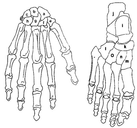 anatomy coloring book bones label the carpals and the tarsals
