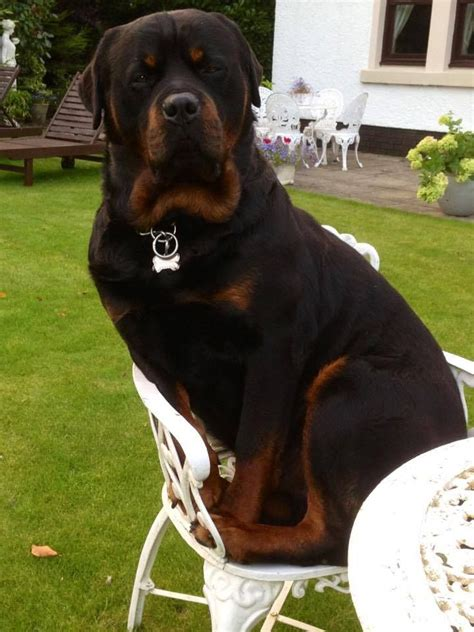 best shoo for rottweiler 17 best images about rottweilers on best dogs puppys and rottweiler