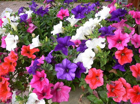 Surfinia Petunien Sorten 5768 by Trailing Petunia Mix Balcony 1000 Seeds Petunia