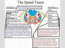 spinal anatomy 2 class notes Spine and spinal cord injuries spine_injury_class/spine_injuryshtml  extension injury spinal cord anatomy: a brief review.
