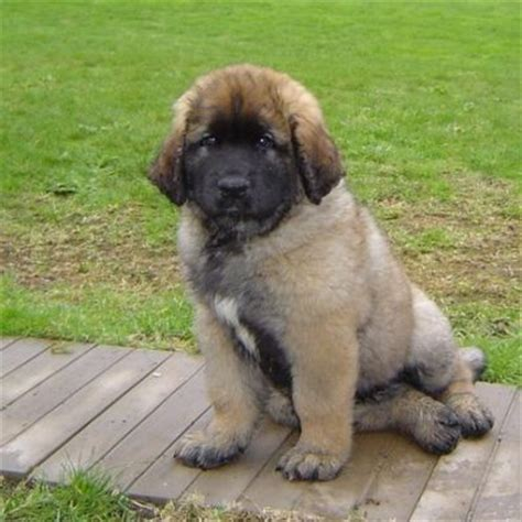 leonberg chiens anipassion
