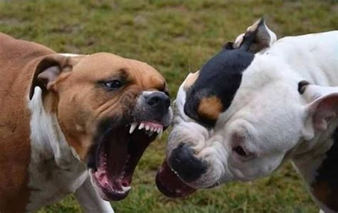 pitbull attack pitbull attack www pixshark images galleries with a bite