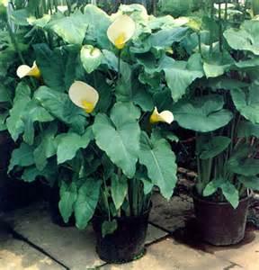 zantedeschia arum d ethiopie calla le zantedeschia se