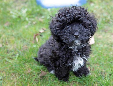 how big do havanese dogs get havanese vs havapoo breeds picture