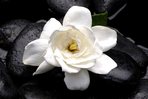 Gardenia Meaning Gardenia Flower Meaning Flower Meaning