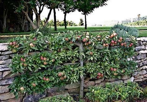 how to grow espalier fruit trees espalier apple tree garden