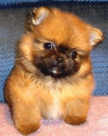 pomeranian mixed breeds peek a pom breed information and pictures