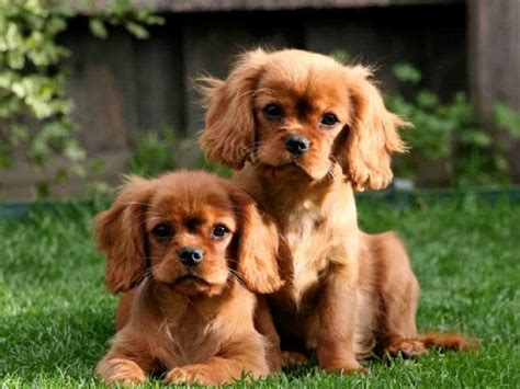 top dog breeds what are the top 10 dog breeds in australia 2017 here s a