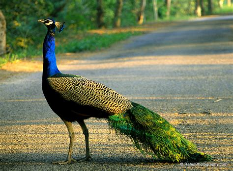 National Bird Of India Essay by Malik Gk Power Best General Knowledge Of India