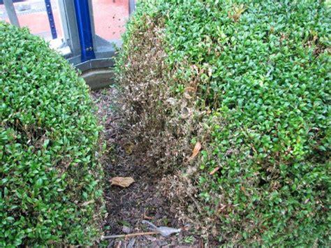 Buchsbaum Raupenbefall by Buchsbaumz 252 Nsler Garten Ideal Gmbh