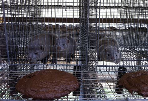 fur farming a book of information about fur bearing animals enclosures habits care etc classic reprint books 5 interesting facts about fur farms searching for