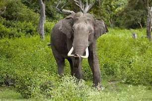 le elefant indian elephant