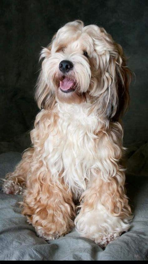 havanese cocker spaniel mix this looks like a tibetan terrier cocker spaniel mix to me whatever it is it s