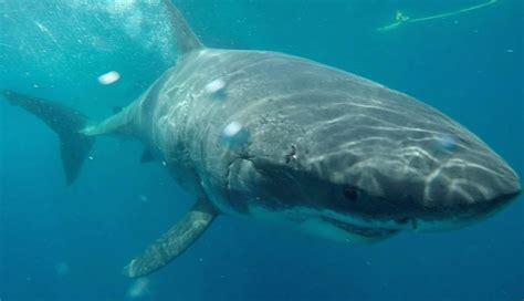 shark attacks fishing boat great white sharks attack fishing boat during harrowing