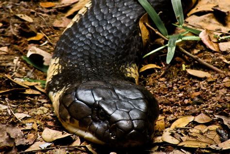 king cobra images file the king cobra jpg wikimedia commons