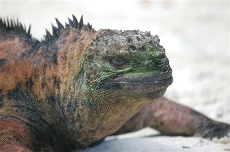 do iguanas change color i didn t change any colors here this marine iguana was